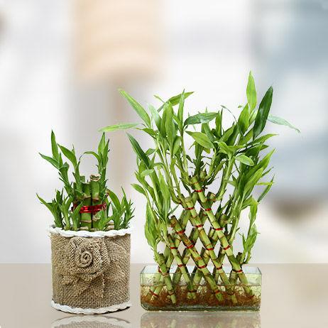 Buy Lucky Bamboo Online Dubai