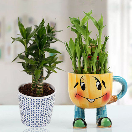 Online Indoor Plants Dubai