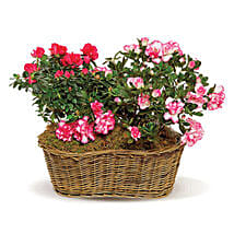 Awesome Azaleas: Mother's Day Flowers in Canada