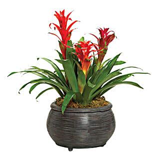 Bromeliad Beauty: Send Plants to Canada