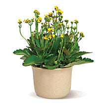 Charming Kalanchoe: Gifts for Clients in Canada