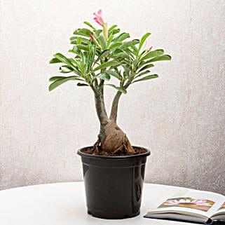 Adenium Desert Rose: Succulents