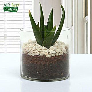 Aloe Vera Glory Terrarium: Succulents and Cactus Plants