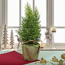 Amazing Cyprus Plant: Christmas Gifts for Her