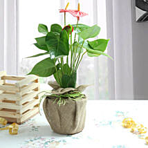 Anthurium Red Beauty: Plants to Gurgaon