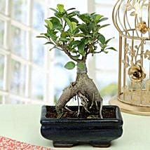 Appealing Ficus Ginseng Bonsai Plant: Herbal and Kitchen Plants
