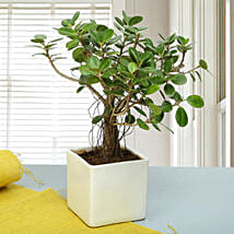 Attractive Ficus Iceland Bonsai Plant: Outdoor Plants