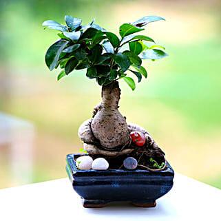 Beautiful Ficus Microcarpa Plant: