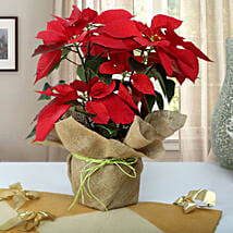 Beautiful Poinsettia Plant: Flowering Plants