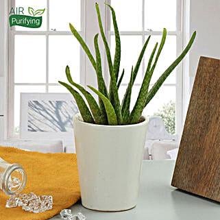Beauty Of Aloe Vera Plant: Succulents and Cactus Plants