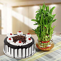 Blackforest Cake With Three Layer Bamboo Plant: Plants for anniversary