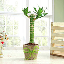 Cut Leaf Bamboo Plant: Plants for Girlfriend