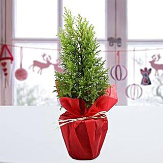 Cyprus Greenery Plant: Christmas Gifts