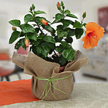 Delightful Hibiscus Plant: Flowering Plants