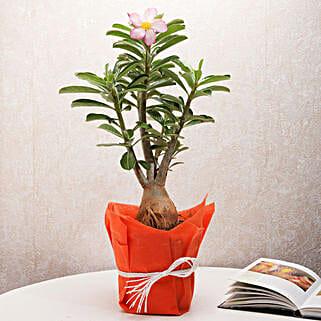Desert Rose Adenium Plant: Send Plants to Jabalpur