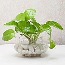Divine Money Plant Terrarium: Plants Delivery Today