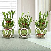 Evergreen Bamboo Plant for Mom: Plants Delivery Today