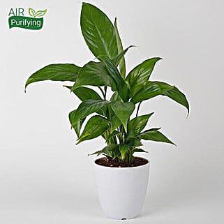 Evergreen Peace Lily Plant: Spiritual Plant