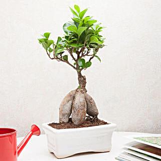 Exotic Ficus Bonsai Plant: Send Plants to Meerut