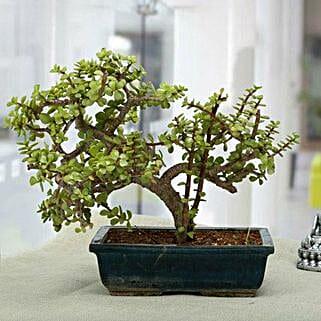 Fabulous Jade Bonsai Plant: Best Outdoor Plant