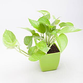 Golden Money Plant in Green Plastic Pot: Buy Indoor Plants