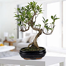 Gorgeous Ficus S shaped Plant: Send Home Decor Gifts for Him
