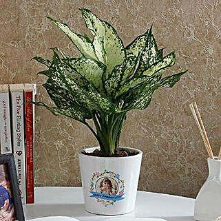 Gorgeous Silver Aglaonema Plant: Premium Plants