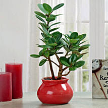 Green Ficus Dwarf Beauty Plant: Plant Gifts for Girlfriend