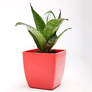 Green Sansevieria Plant in Red Plastic Pot: Spiritual and Vastu Plants