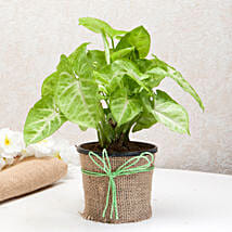 Hue of Green Syngonium Plant: Plants for House Warming