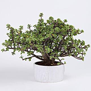 Jade Bonsai Plant in White Melamine Pot: Bonsai Plants