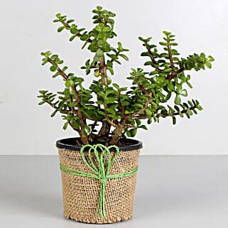 Jade Plant in Black Plastic Pot: Best Outdoor Plant