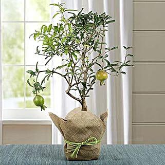 Lovely Bonsai Pomegranate Plant: Bonsai Plants