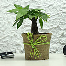 Lucky Money Tree: Good Luck Plants for Anniversary