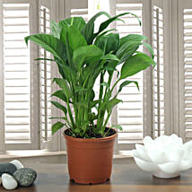 Peace Lily Plant: Good Luck Plants for Diwali