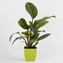 Philodendron Red Plant in Imported Plastic Pot: Plants For Bathroom