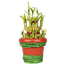 Pot Of Luck: Send Lucky Bamboo to Gurgaon