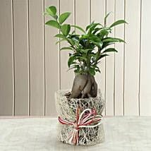 Potted Ficus Bonsai Plant: Plants for House Warming