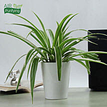 Potted Spider Plant:
