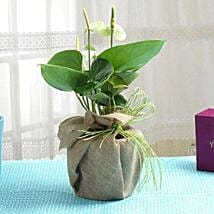 Pretty Anthurium: Send Plants for House Warming
