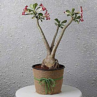 Pretty Desert Rose Bonsai Plant: Flowering Plants