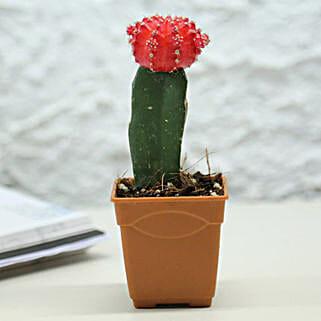 Rising Moon Cactus Plant: Succulents