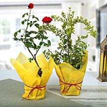 Rose And Jasmine Plant Combo: Rose Plant Gifts