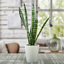 Sansevieria Air Purifying Plant: