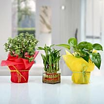 Set of 3 Good Luck Plants: Send Plants to Lucknow