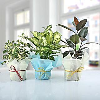 Set of 3 Lush Plants: Indoor Plants
