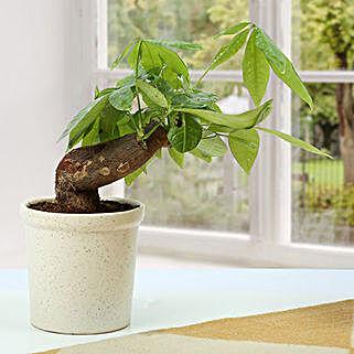 Sober Pachira Twisted Bonsai Plant: