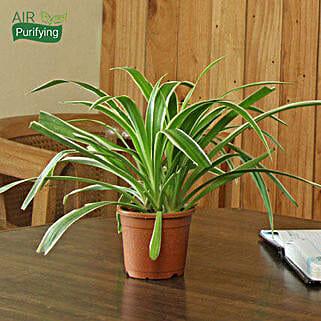Spider Plant: Diwali Gifts for Bhaiya Bhabhi