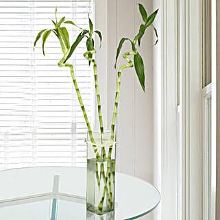 Spiral Bamboo Plant: Premium Plants