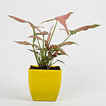 Syngonium Pink Plant in Imported Plastic Pot: Plants For Bathroom